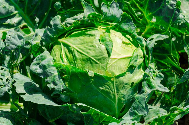 Fresh young cabbage head on the vegetable bed. Diet food concept royalty free stock images