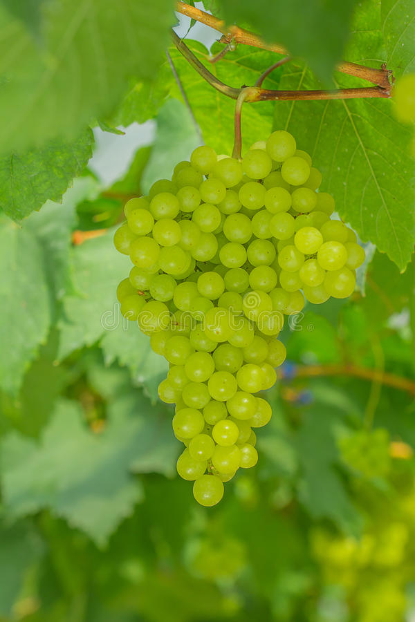 Fresh and young green grapes. Bunches of green grapes still on the tree royalty free stock photography
