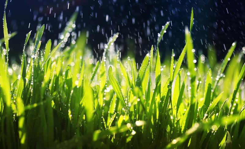 fresh green grass makes its way in the garden under the warm drops of spilling water on a Sunny day royalty free stock photo