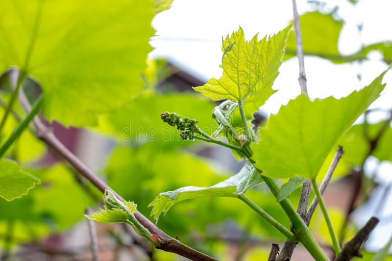 Fresh young green growing grape leaves in a vineyard garden in spring and summer. royalty free stock photos