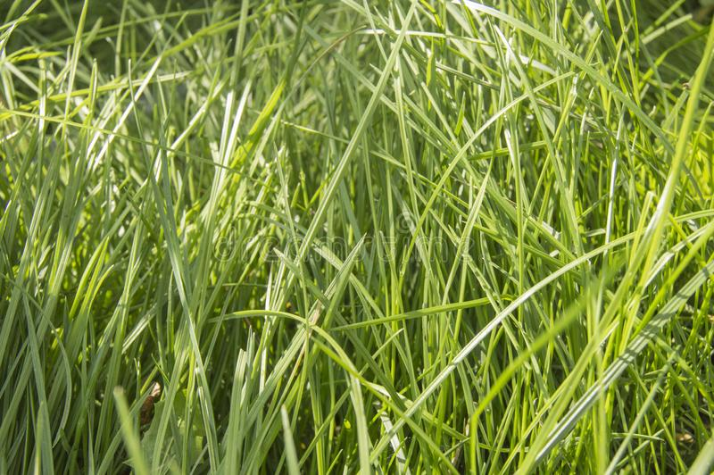 Fresh young green summer grass and sunlight, natural background royalty free stock images
