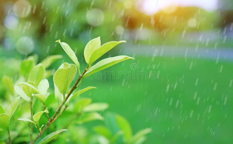 Fresh young green tree top leaf on blurred background in the summer garden with raining and rays of sunlight. Close-up nature leav stock photography