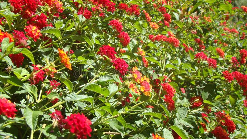 Fresh Young Lantana Blooming Flowers stock photos