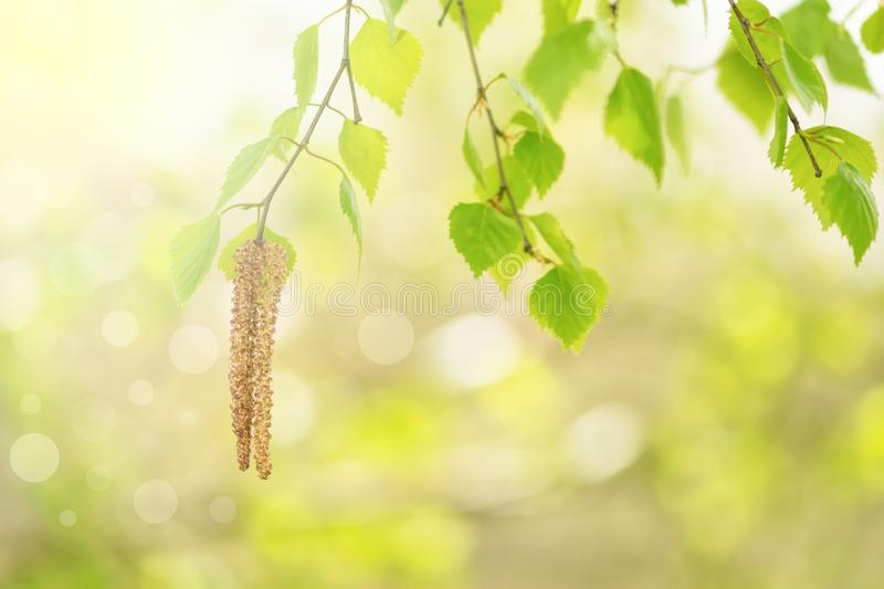 Fresh young leaves and birch earrings in the sunlight on a beautiful blurred background. Spring beautiful background. Selective royalty free stock images