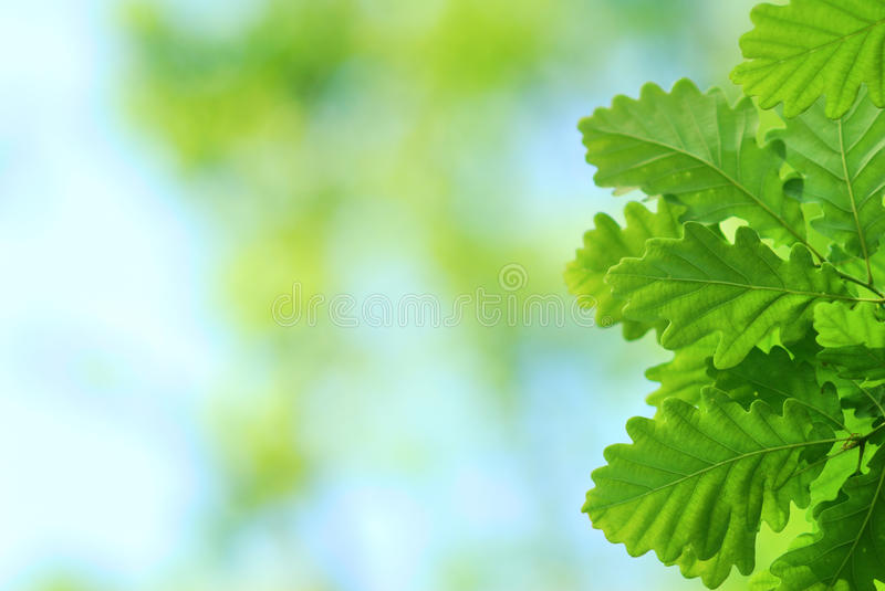 Fresh and young oak leaves. In springtime royalty free stock images