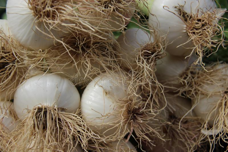 Fresh Young Onion With Small Roots stock photos