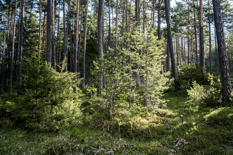 Fresh young trees growing in a pine forest stock photography