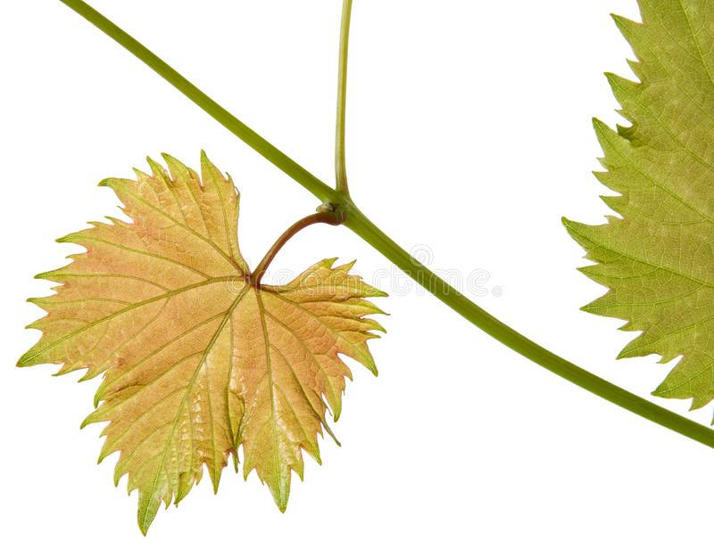 Fresh young vine grape leaf on branch isolated on white background, close-up. Fresh young vine grape leaf on branch isolated on white background royalty free stock image