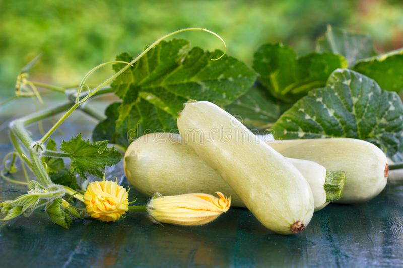 Fresh zucchini, green vegetables from local farm. stock photography