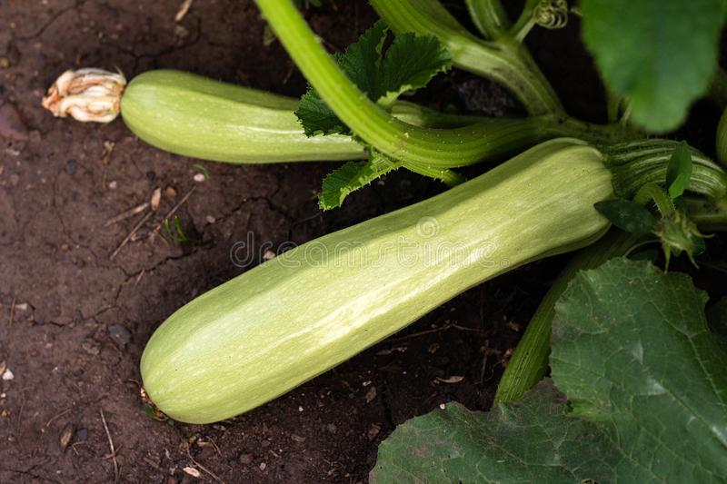 fresh zucchini grows in the garden stock photo