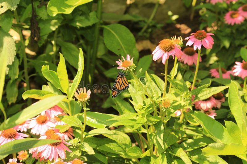 Freshly born Monarch butterfly on coneflower royalty free stock photo