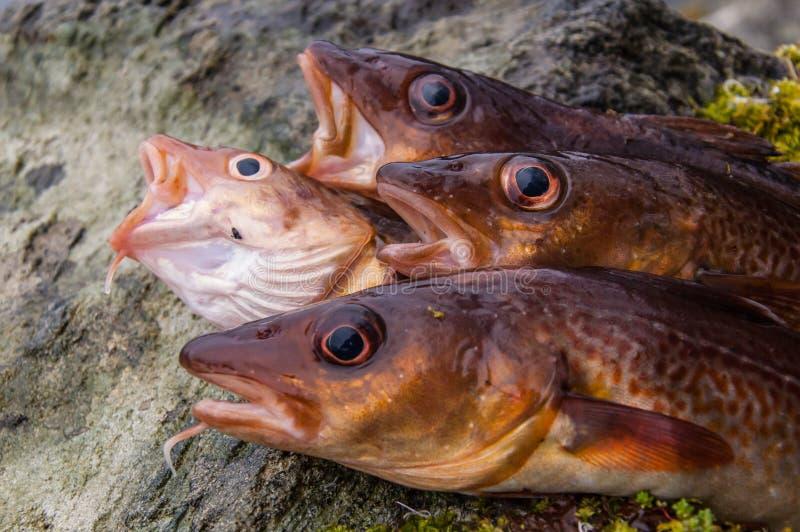 Freshly caught cods on a rock stock photos
