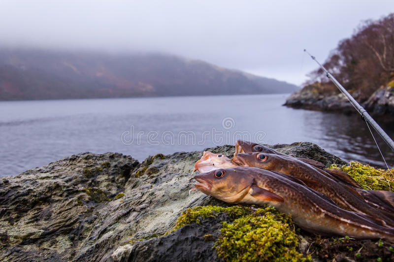 Freshly caught cods on a rock with fishing rod stock photography
