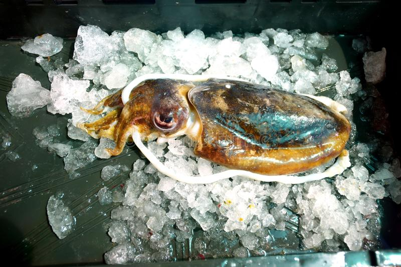 Freshly caught cuttlefish on ice royalty free stock image