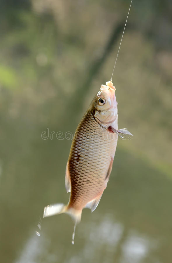 Freshly caught fish on a hook and fishing line stock photo for B liner fish