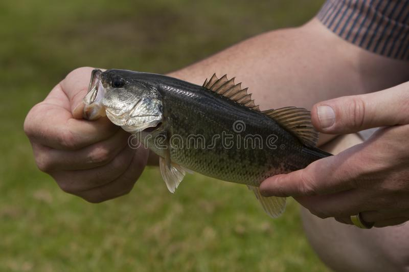 A freshly caught large mouth bass. Fish held by a fisherman stock images