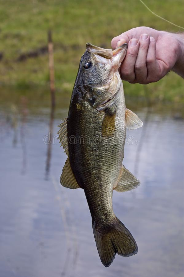 A freshly caught large mouth bass. Fish held by a fisherman royalty free stock photo