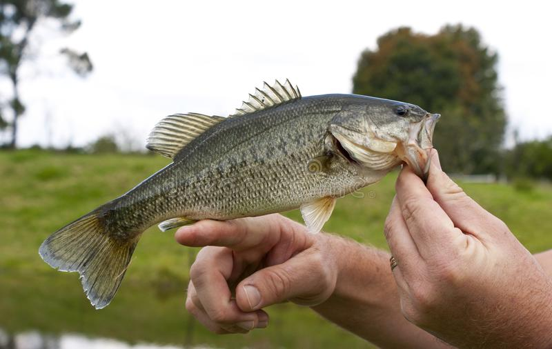 A freshly caught large mouth bass stock photos