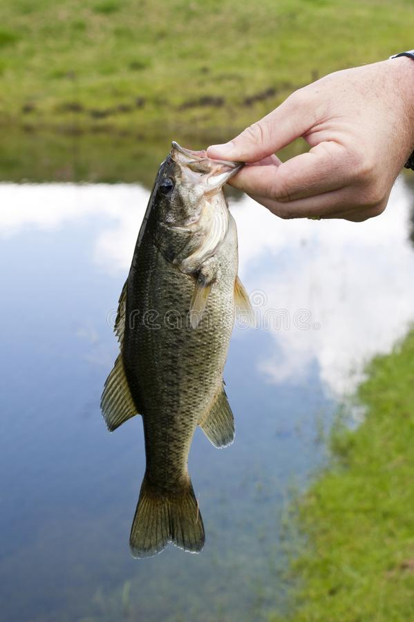 A freshly caught large mouth bass. Fish held by a fisherman royalty free stock photography