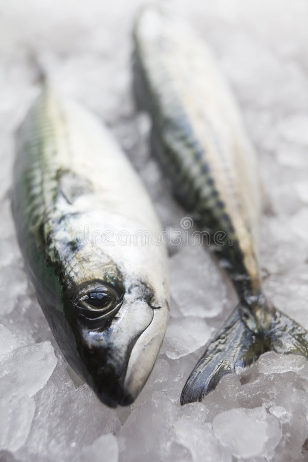Freshly caught mackerel royalty free stock photos