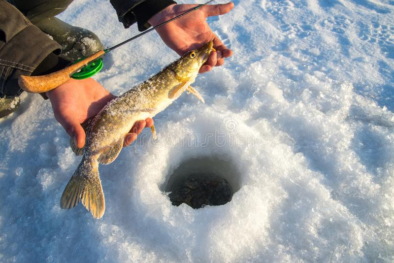Freshly caught pike fish in hands, fisherman success. Winter ice fishing. Freshly caught pike fish in hands, fisherman success. Winter ice fishing stock images