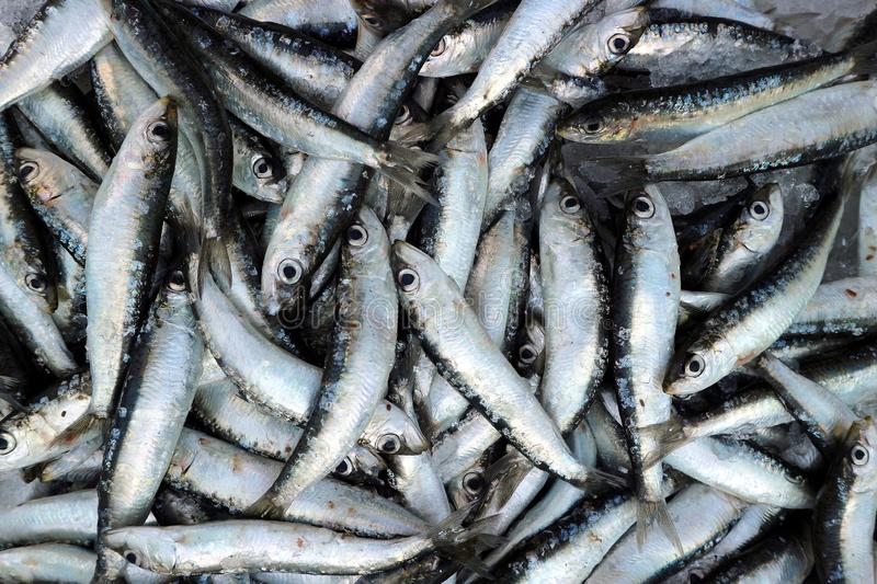Freshly caught sardines at fish store. Food background and texture. Closeup royalty free stock photos