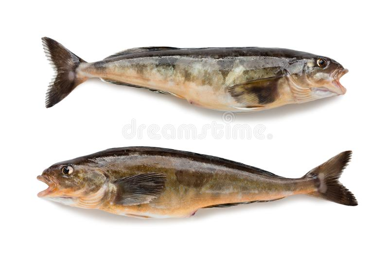 Freshly caught sea fish Arabesque greenling bass. 34 cm long. Commercial fish is found in the seas of the Far East. Isolation on a white background royalty free stock photography