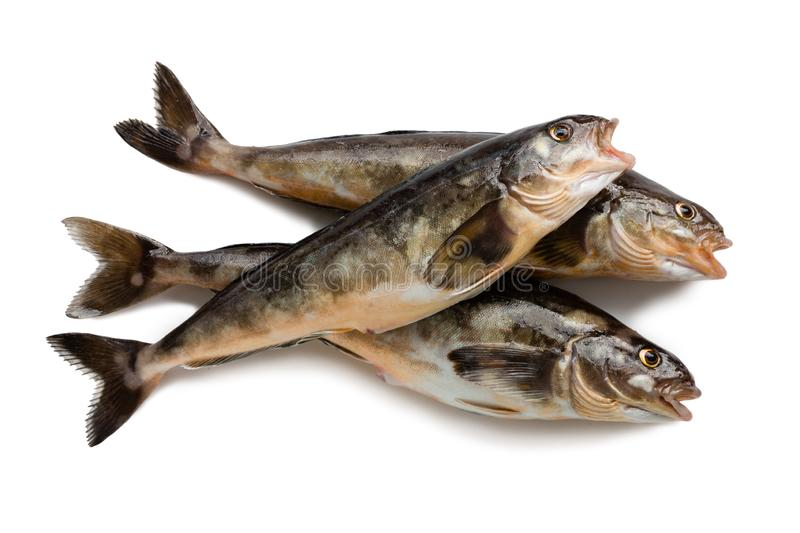 Freshly caught sea fish Arabesque greenling bass. 34 cm long. Commercial fish is found in the seas of the Far East. Isolation on a white background stock image