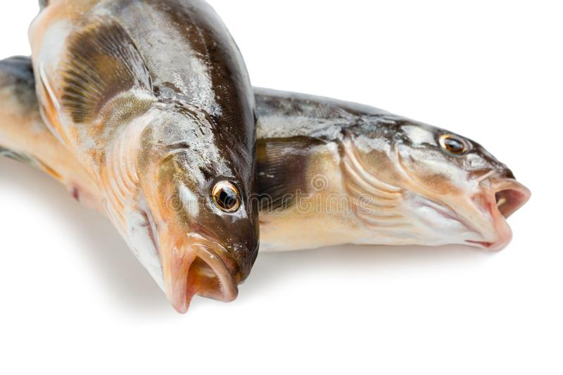 Fresh sea fish Arabesque greenling bass. Freshly caught sea fish Arabesque greenling bass, Commercial fish is found in the seas of the Far East. Isolation on a stock images