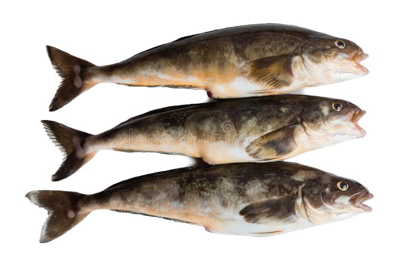 Freshly caught sea fish Arabesque greenling bass. 34 cm long. Commercial fish is found in the seas of the Far East. Isolation on a white background royalty free stock image