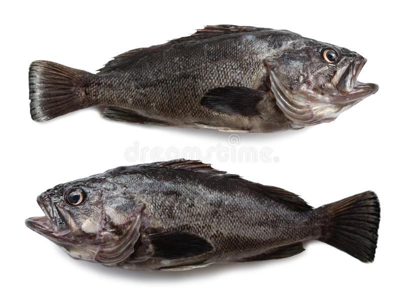 Freshly caught sea fishes Hildendorf bass. 37 cm long, is found in the seas of the Far East. Isolation on a white background royalty free stock photo