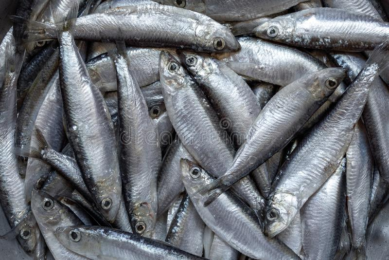 Freshly caught sprat fish royalty free stock photography