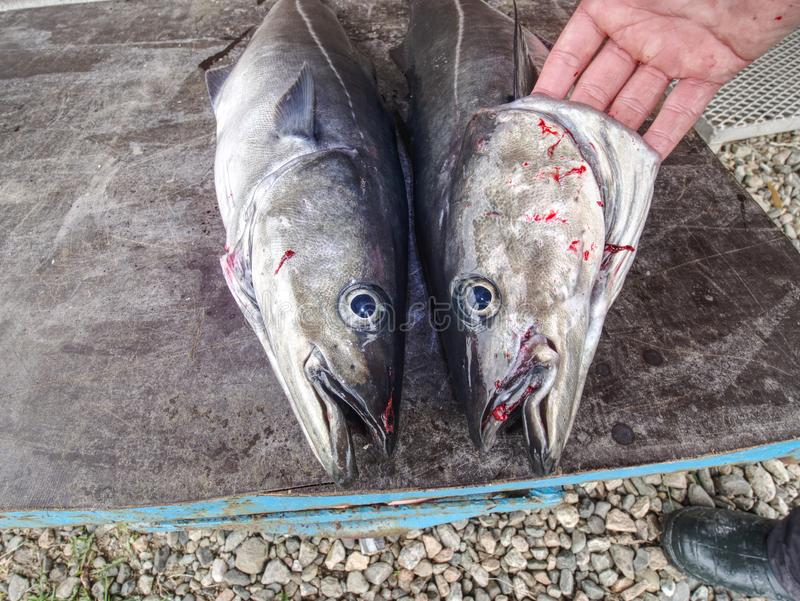 Freshly caught two pieces of Coalfish on board. Freshly caught two pieces of Coalfish on plastic table board stock image