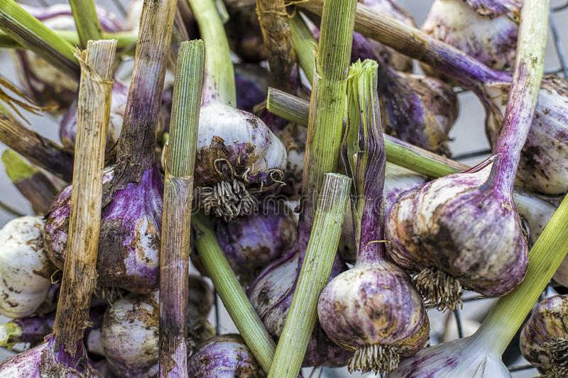 Freshly cleaned garlic bulbs. A close up of freshly picked and cleaned garlic in a basket royalty free stock images