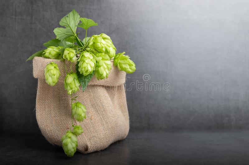 Bio beer hop. Freshly cut bio beer hop in a bag stock photography
