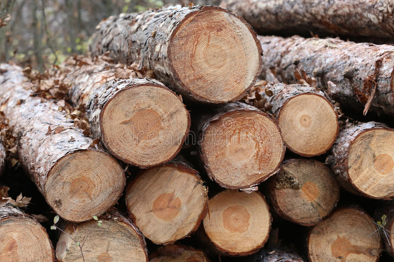 Freshly cut pine tree logs in forest outdoors stock photography