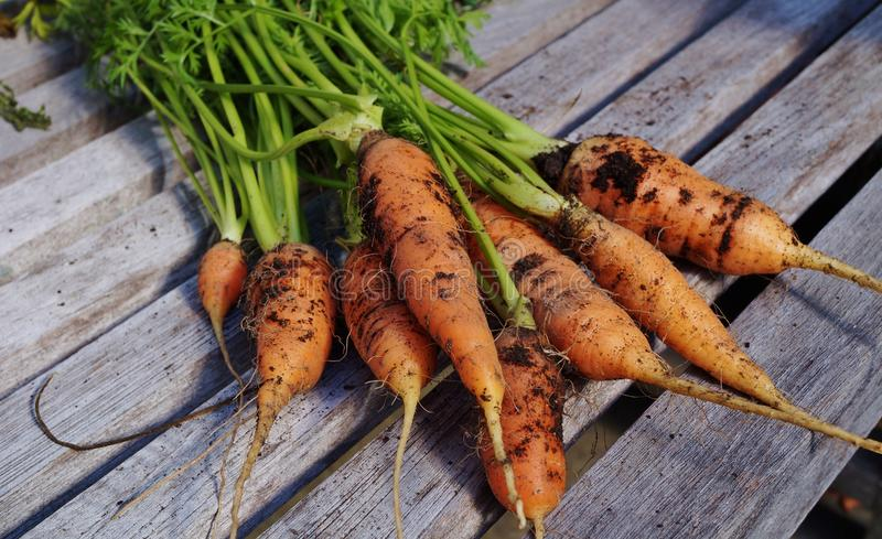Freshly dug carrots. With soil and fronds still attached stock image