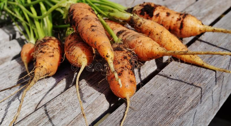 Freshly dug carrots. With soil and fronds still attached royalty free stock photos