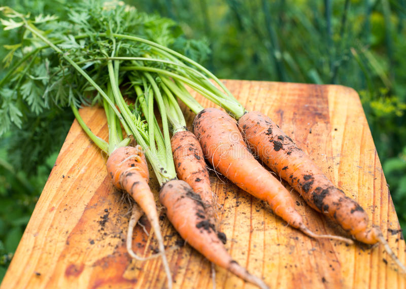 Freshly dug carrots. On the wooden cutting board royalty free stock photos