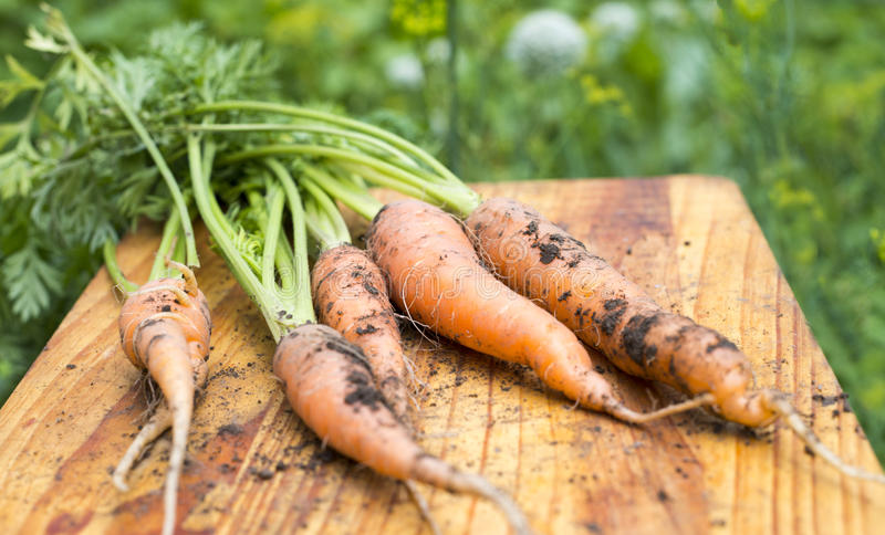 Freshly dug carrots. On the wooden cutting board royalty free stock photo