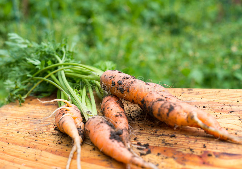 Freshly dug carrots. On the wooden cutting board stock photo