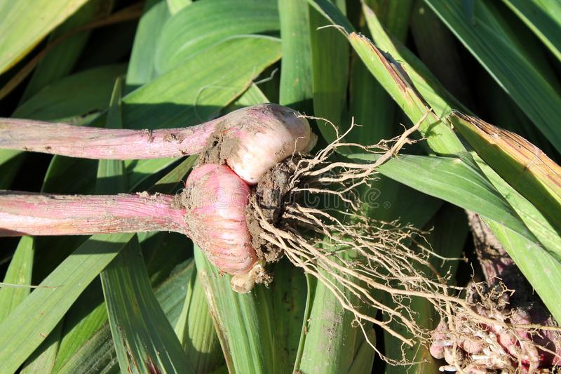Freshly dug gladiolus corm with roots. And small bulbs royalty free stock images