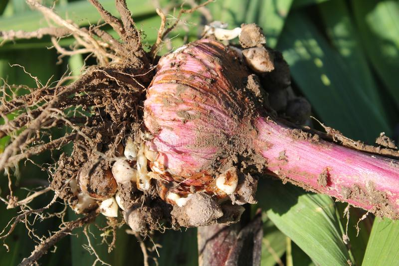 Freshly dug gladiolus corm with roots. And small bulbs royalty free stock image