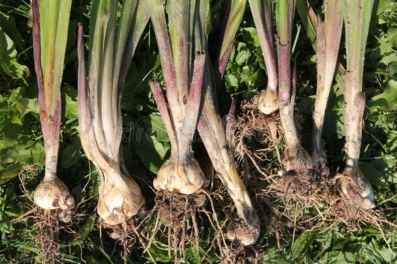 Freshly dug Gladiolus murielae or Acidanthera corms with roots. And small bulbs royalty free stock photography