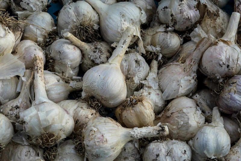 Freshly dug mass of garlic. Summer harvest. Freshly dug mass of garlic with husks. Summer harvest stock photo