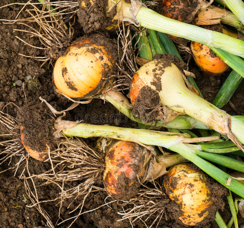 Freshly dug onion bulbs. On the ground royalty free stock image