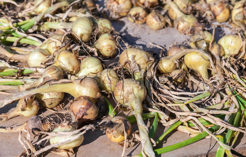 Freshly dug organic onions drying on the sun stock image