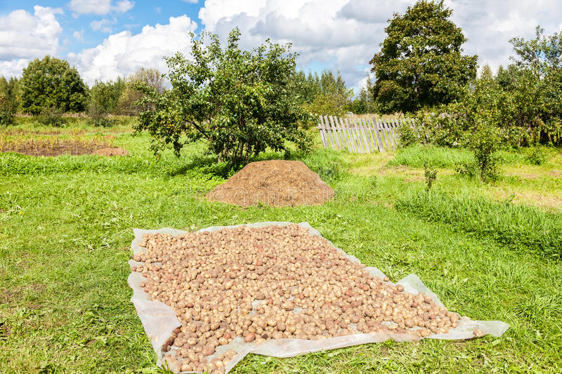 Freshly dug organic potatoes drying on the grass. In summer sunny day royalty free stock photo