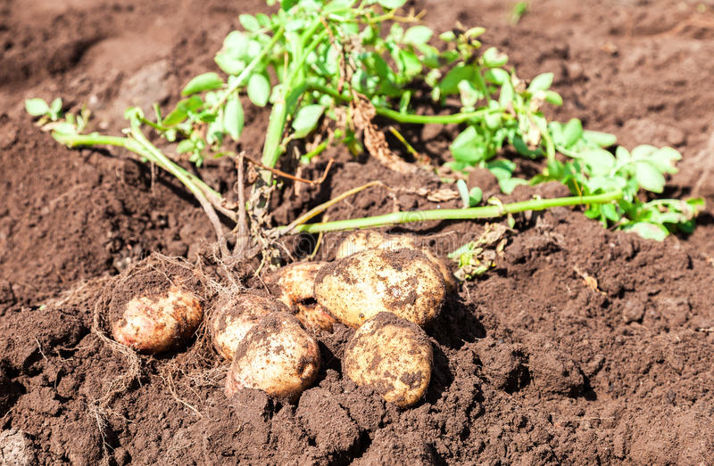 Freshly dug organic potatoes on the field in summer day stock image