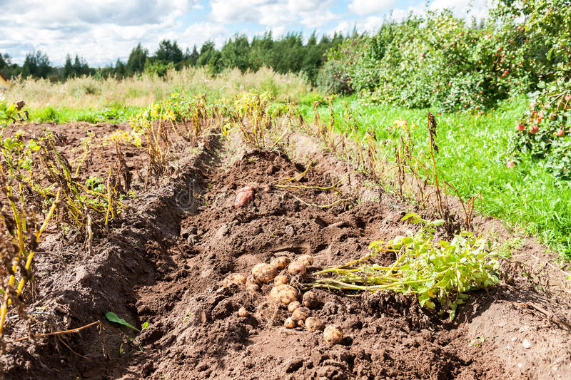 Freshly dug organic potatoes on the field in summer day stock photography